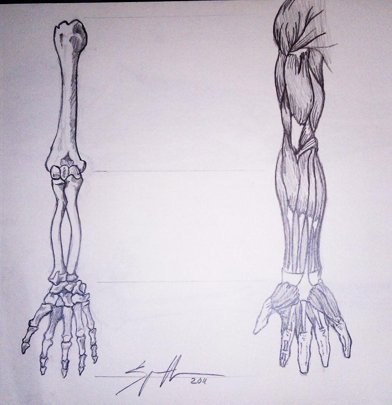 Arm Bones and Muscles by UluPoPoArt on DeviantArt