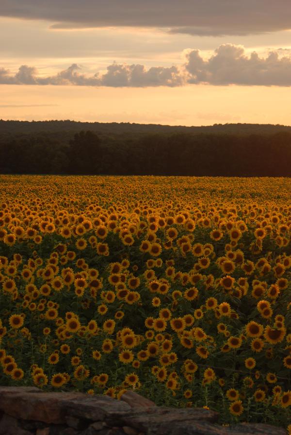 the sunflowers by prettyflour