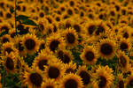 smiling sunflowers by prettyflour