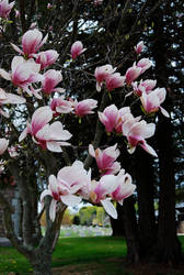 Sweet Magnolias by prettyflour