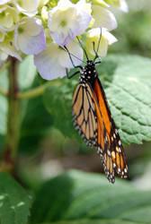 Butterfly by prettyflour