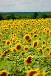Buttonwoods Sunflowers by prettyflour