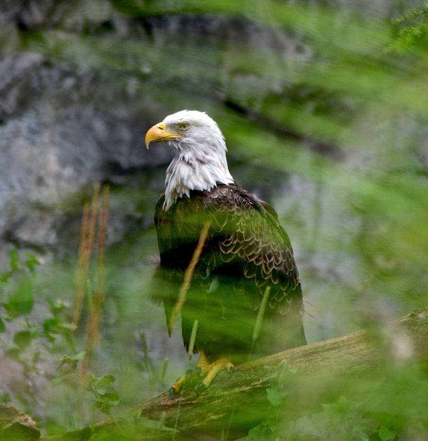Bald Eagle by prettyflour