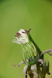 lost dandelion by prettyflour