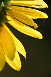 dew drops by prettyflour