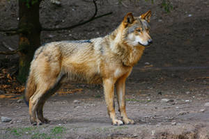 Wolf Standing Profile Stock by WildberryPassion