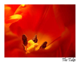 The Tulip by bossydk