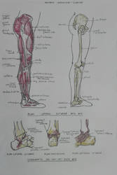 Daily anatomy #9 by MiyoTheCreator