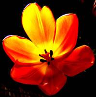 Tulip by ButterflyJewel