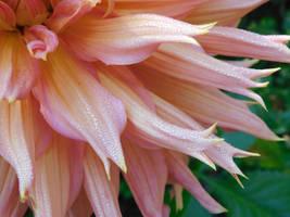 Petals of Dahlia by vch41048