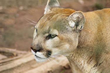 Puma by Atimoon