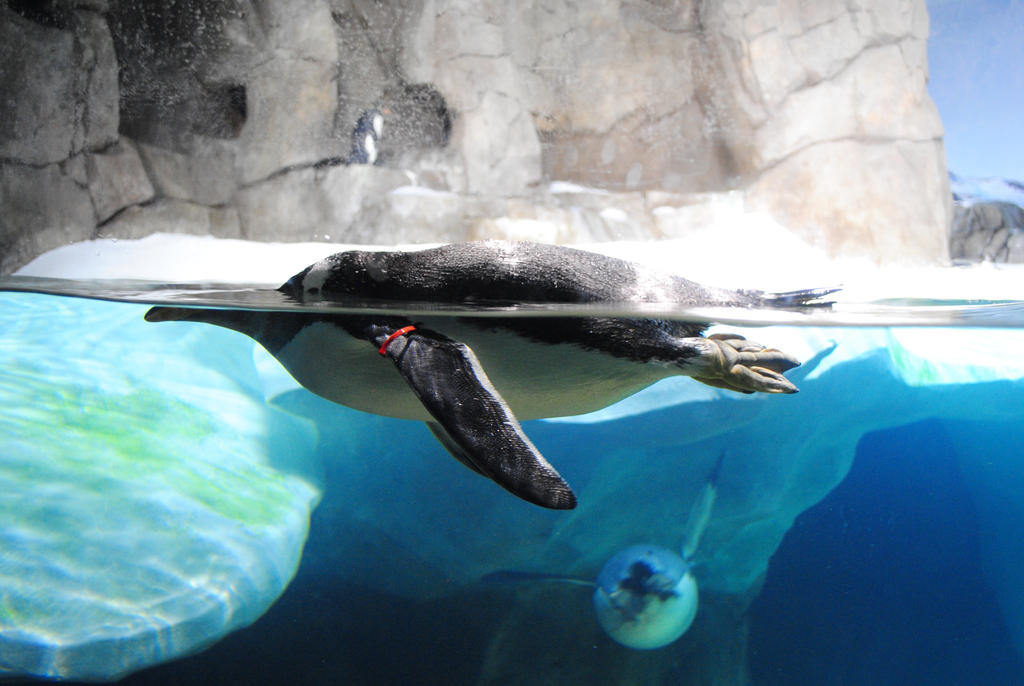 Zoo 13 Penguin by PirateLotus-Stock