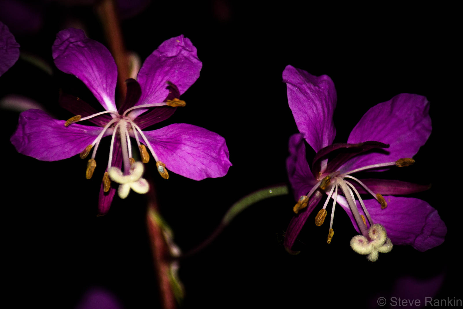Night flowers by steverankin on deviantart for A flower that only blooms at night