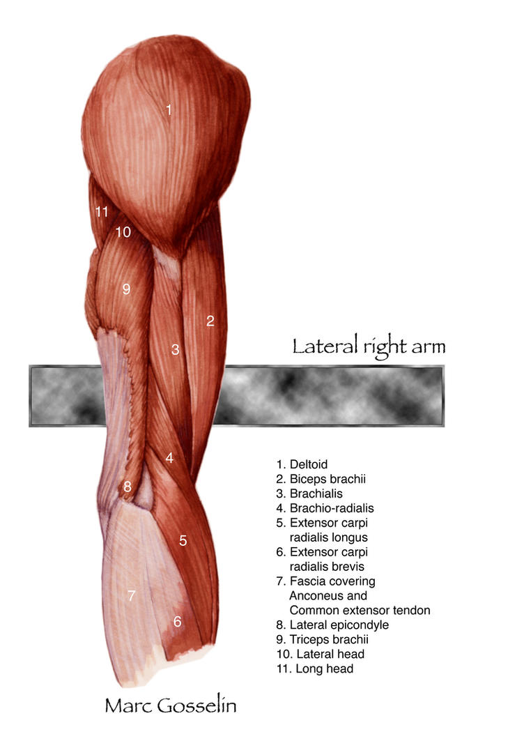 Lateral right arm by marcgosselin on DeviantArt