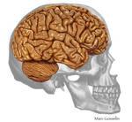 Brain in skull by marcgosselin