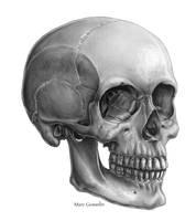 Skull, Three quarter view by marcgosselin