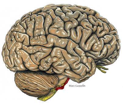 Right Lateral Brain by marcgosselin