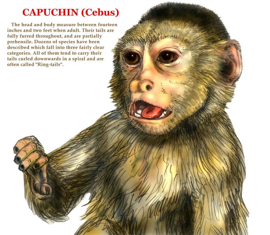 Capuchin Monkey Pictures Capuchin Monkey by