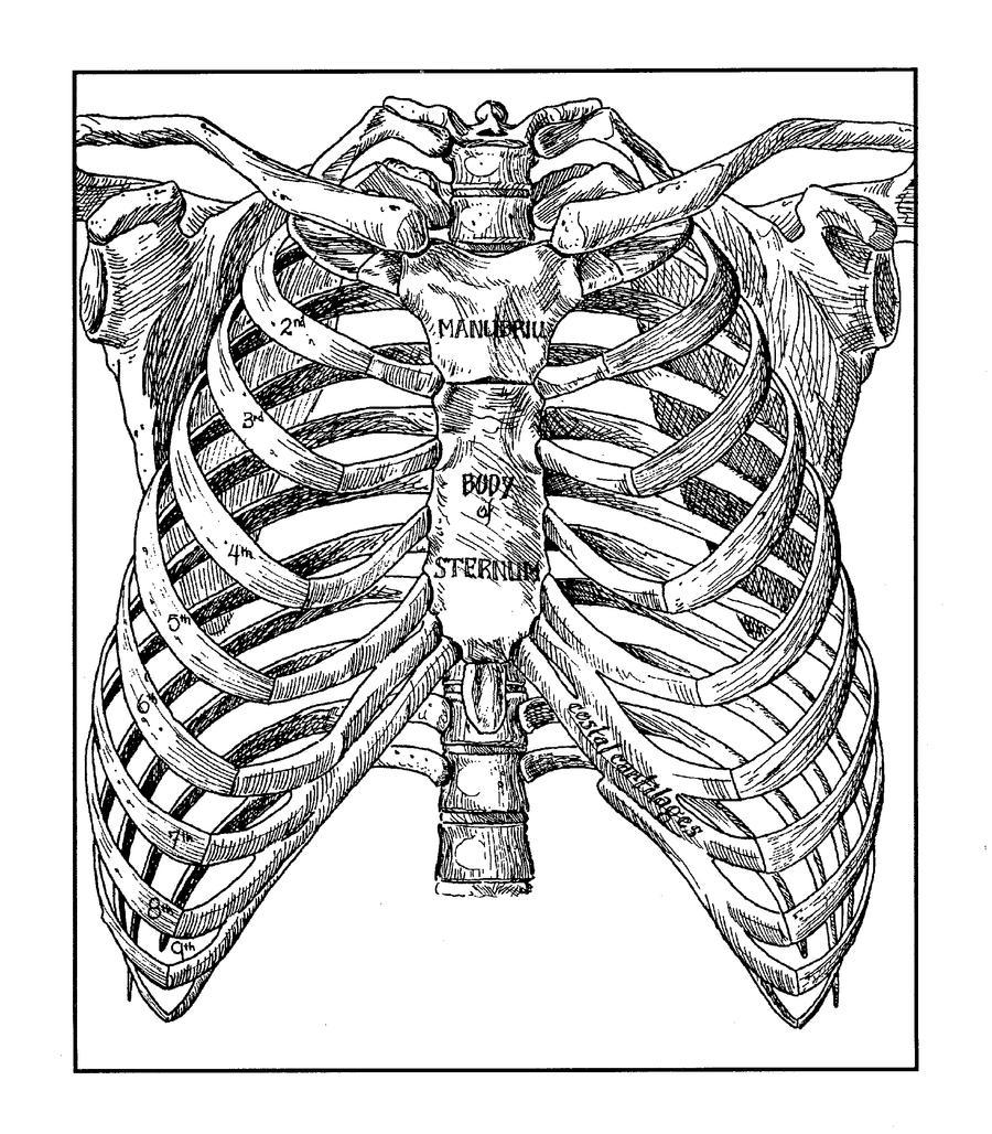 Ribcage by marcgosselin