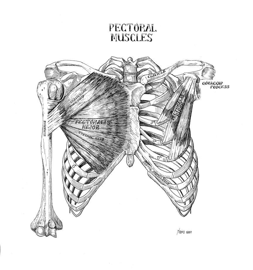 Pectoral Muscles By Marcgosselin On Deviantart