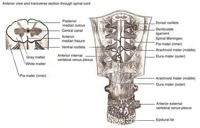 Sketch, Spinal cord, Meninges, Circulation.
