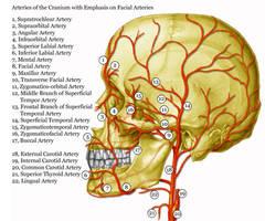 Facial Arteries