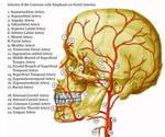 Facial Arteries by marcgosselin