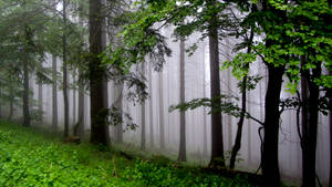 The misty woods