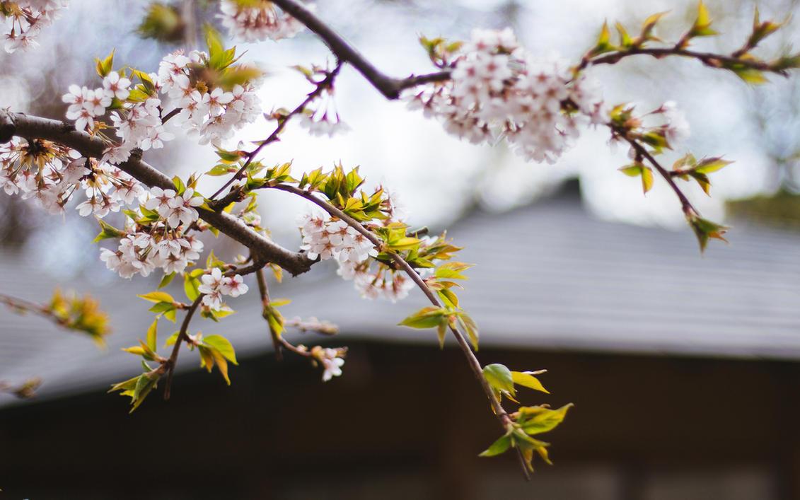 Setagaya Sakura by DelAn0