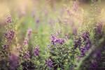 Purple Haze by bwaworga