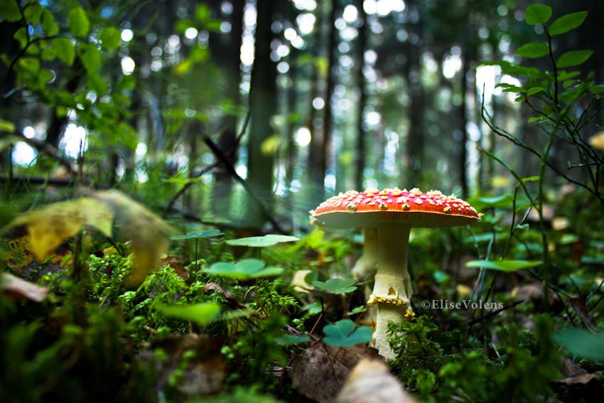 mushroom by 1ShiningMoon