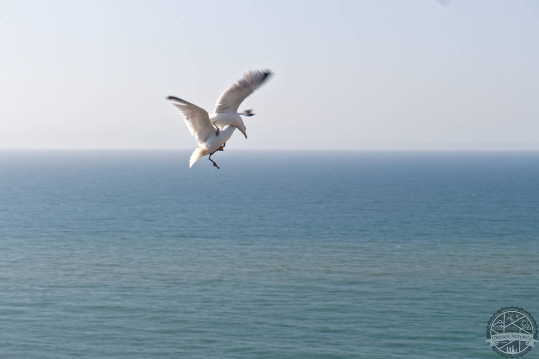 Seagull fighting by Salahmi