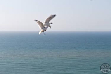 Seagull fighting