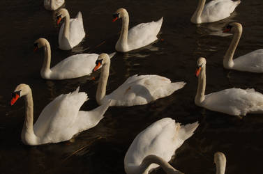 Swans obsession by Tourdumondiste