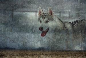 Siberian Husky Manip by mxgirl199