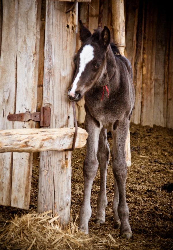 Colt by Gladhnes