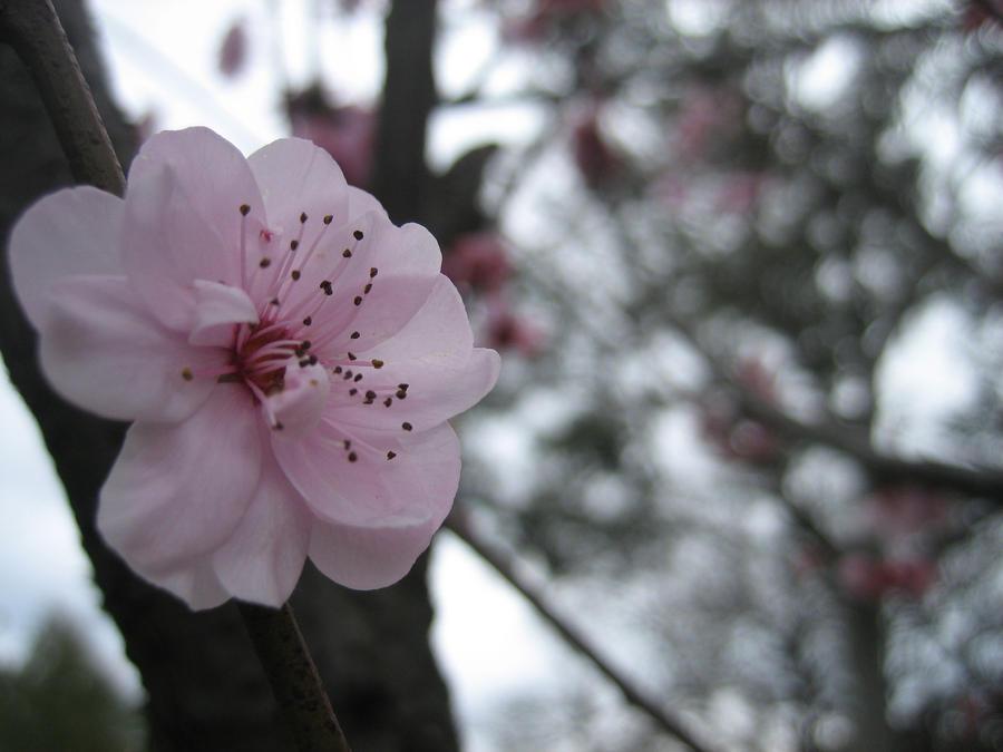 Sakura by EnchantedDove