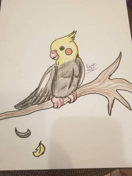 Cockatiel (test)