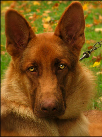 Liver GSDs? - Page 6 - German Shepherd Dog Forums