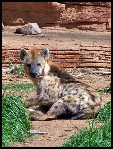 Spotted Hyena by LarkPash