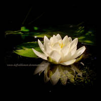 The Water Lily II