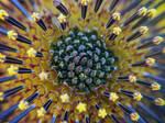 Wild Sunflower Burst by JenniBeeMine