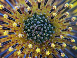 Wild Sunflower Burst