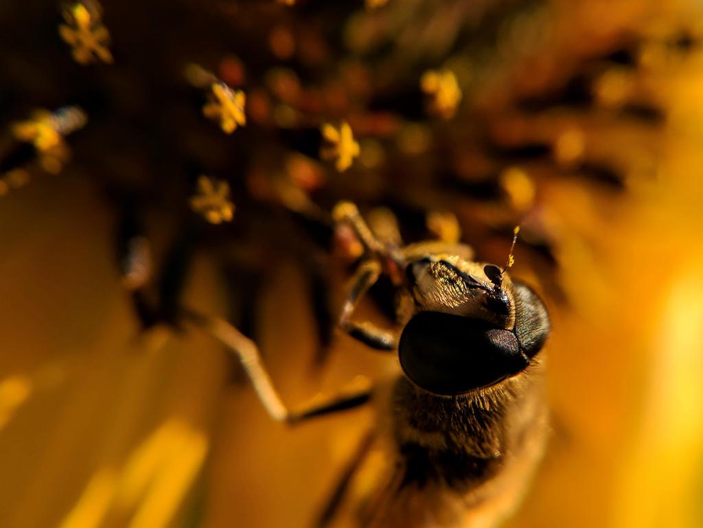 Golden Hoverfly by JenniBeeMine