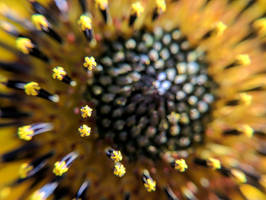 Blue and Gold Wild Sunflower by JenniBeeMine