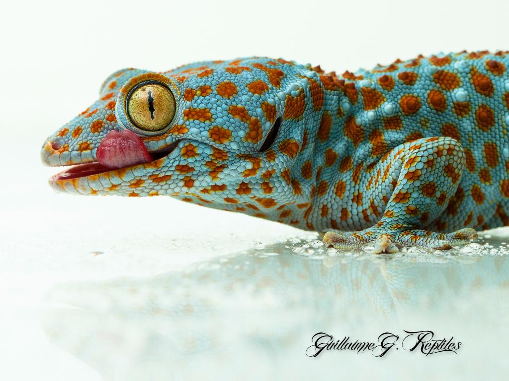 Tokay Gecko by GuillaumeGagnon