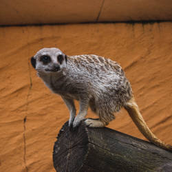 Suricate by nonphotogenique