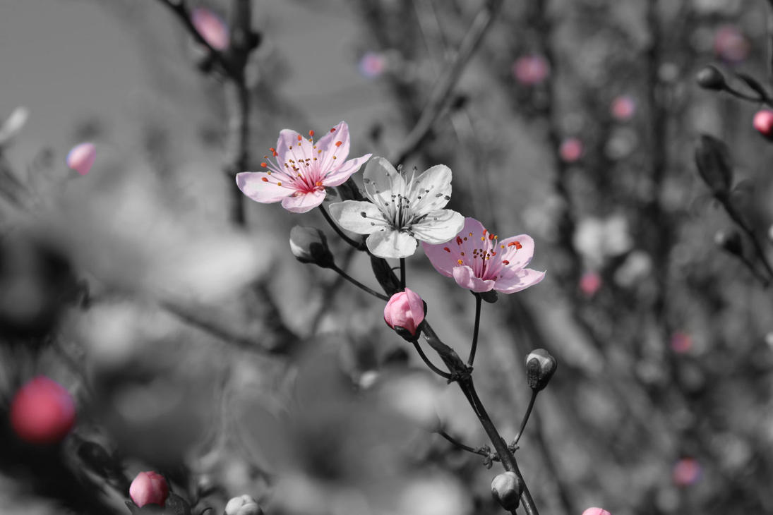 Cherry Blossom Color Splash By Xxrookiexx On Deviantart