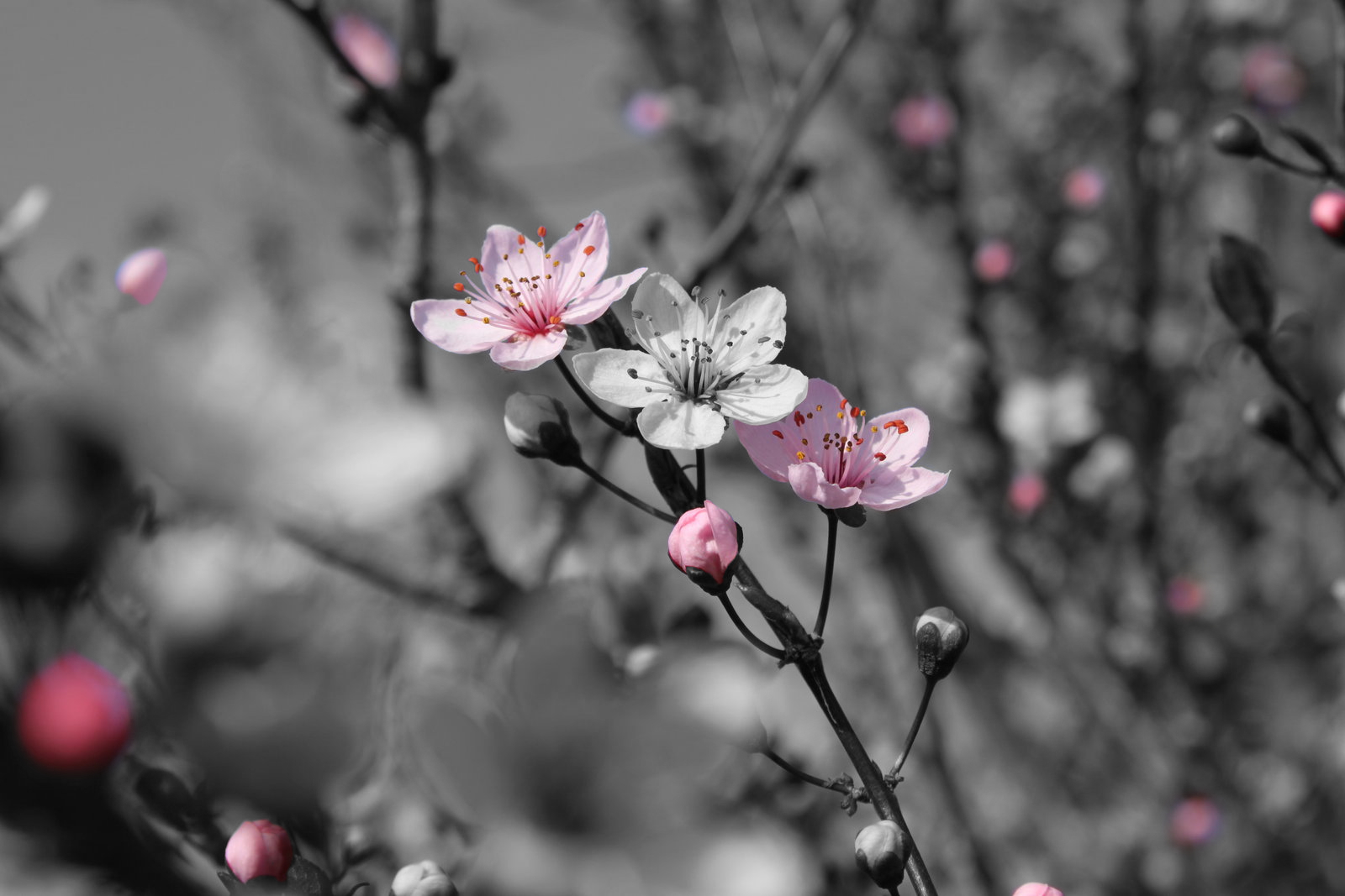 Black And White Photography With Color Splash Of Flowers Amazing