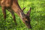 Cades Cove Deer - HDR